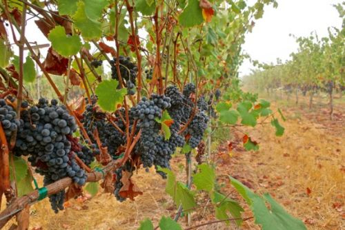 Bokisch Vineyards releases groundbreaking Monastrell