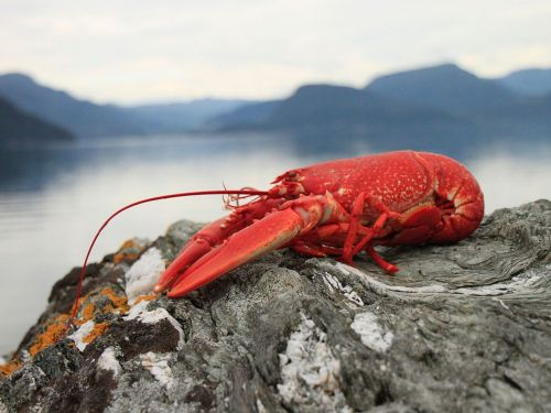 Restaurant Wants to Use Marijuana to Ease Lobsters' Pain. Slow Your Roll, Maine Says