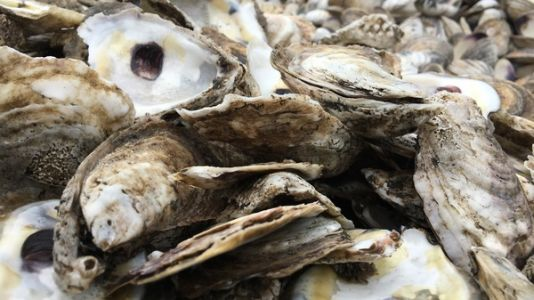 The World Of An Oyster: Scientists Are Using Microphones To Spy On Reef Life