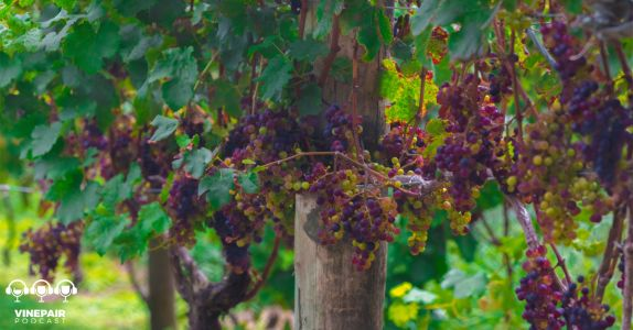 How New Zealand's Wine Industry Is Leading on Sustainability