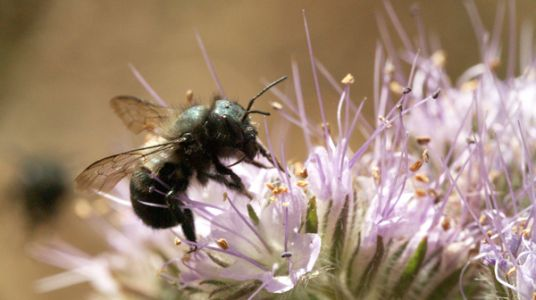 Watch This Native Pollinator Build Her Bee-Jeweled Nest