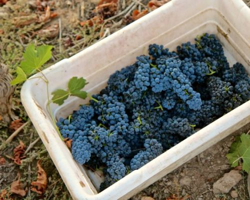 While seeking sense of place, Lodi grown Petite Sirahs still command respect