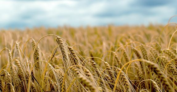 European Barley Shortage Causes 'Dire' Situation for Brewers