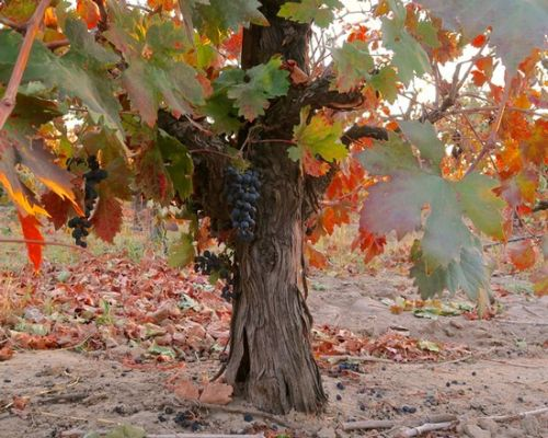 Why you should celebrate National Zinfandel Day with Lodi grown Zinfandel