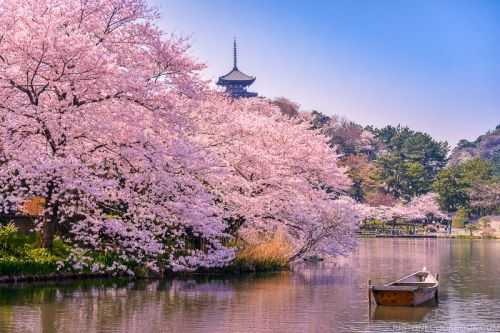 12 Popular Foods to Enjoy at Cherry Blossom Viewing
