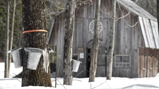 Not So Sweet: Climate Change Means Slow-Growing Sugar Maples, Study Finds