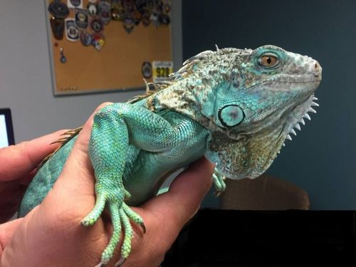 Man Throws Iguana at Ohio Restaurant Employee