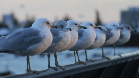 To Protect Imperiled Salmon, Fish Advocates Want To Shoot Some Gulls
