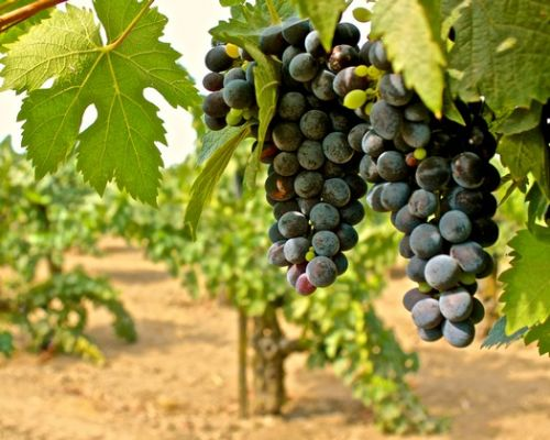Lodi's single-vineyard wines