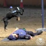 """Police Dog Attempts CPR on """"Lifeless"""" Officer - And Be Still, Our Beating Hearts"""