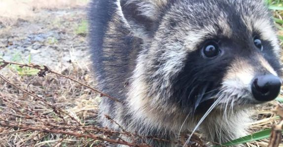 'Rabid' Raccoons Turn Out to Be Drunk on Crabapples