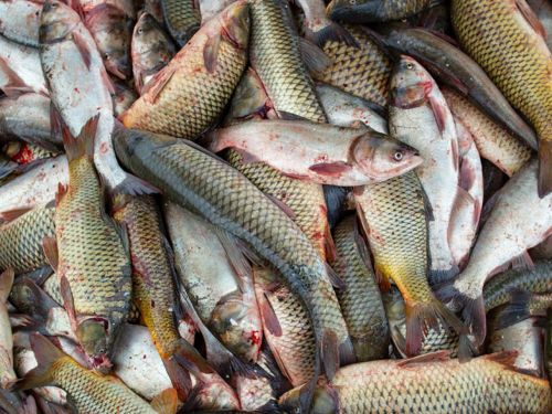 Watch: How Illinois Fisherman Turned the Invasive Asian Carp Business Model