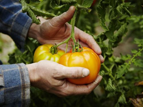 U.S. Consumers Saved From a Bleak Winter of Expensive Tomatoes