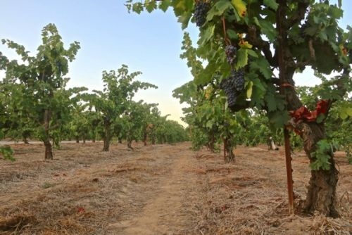 Where to find some of the marked heritage vineyards of Lodi