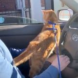 Please Watch a Cat Named Cheeseburger Get a Tiny Cup of Milk From a Starbucks Drive-Through